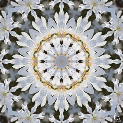 Magnolie hvězda (obraz 50x50 / tisk na plátno)