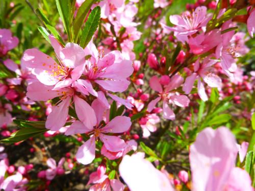 Růžový keřík