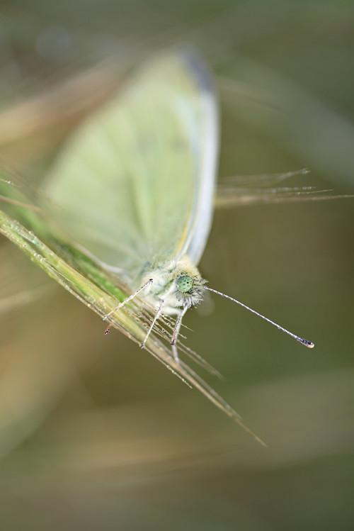 Motýl žluťásek II