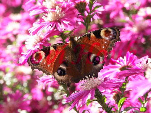 Motýl Babočka