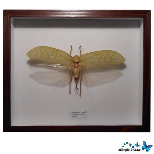 Opravdu obří kobylka