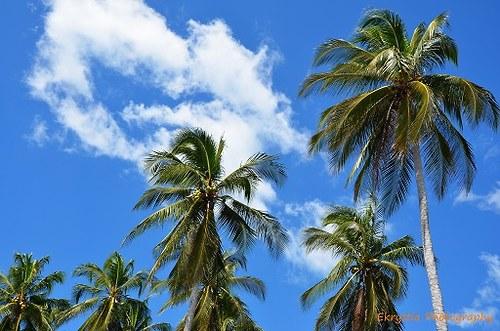 Palmy ve větru, El Salvador