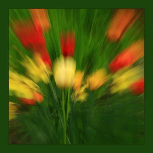 Tulipánové snění