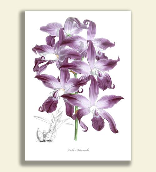 LAELIA AUTUMNALIS - Tisk na grafickém papíře A4