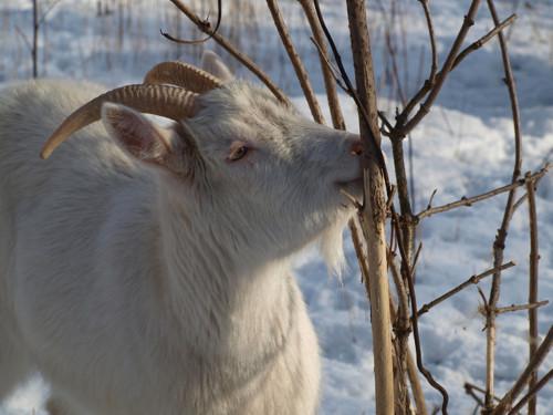 Mlsná koza