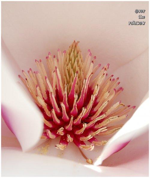 Jarní magnolie - autorská fotografie