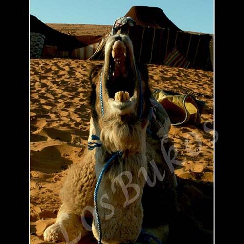 Zívající velbloud