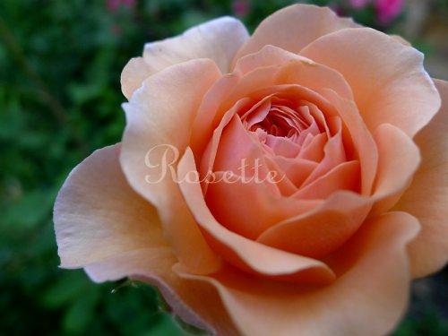 Z růžové zahrádky...  - autorská fotografie