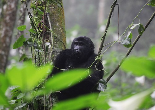Král horských primátů