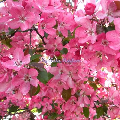Růžově kvetoucí keř I