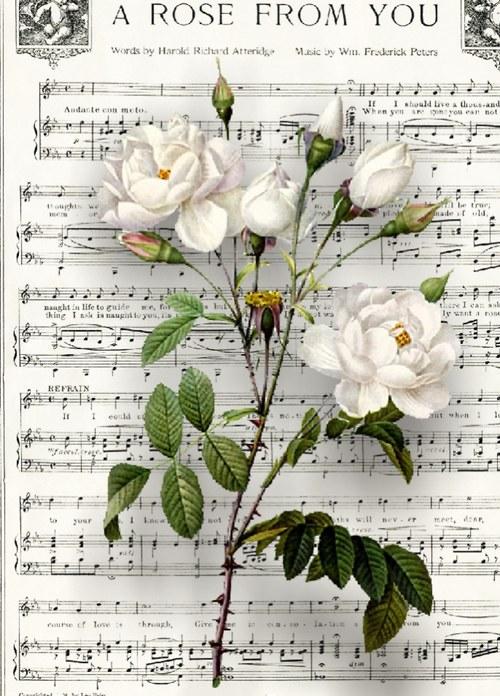 Růže 3
