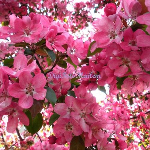 Růžově kvetoucí keř II