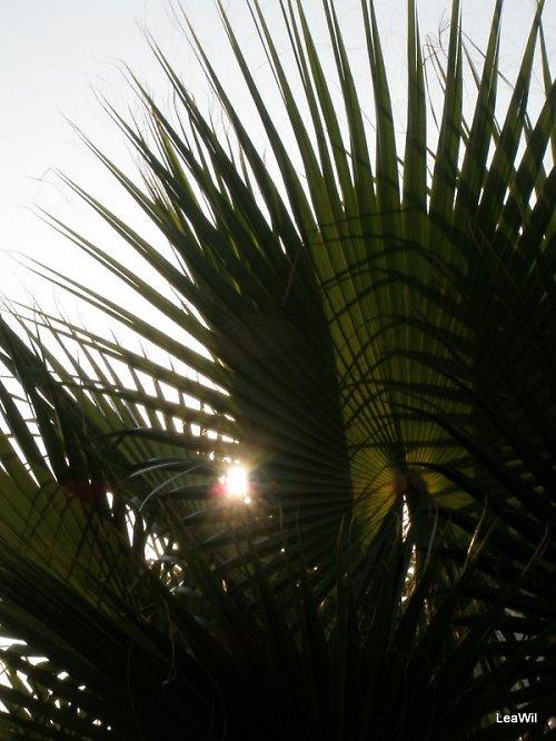Palmové slunce