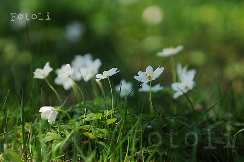 Jarní sasanky