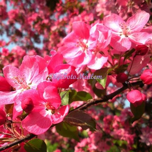 Růžově kvetoucí keř III