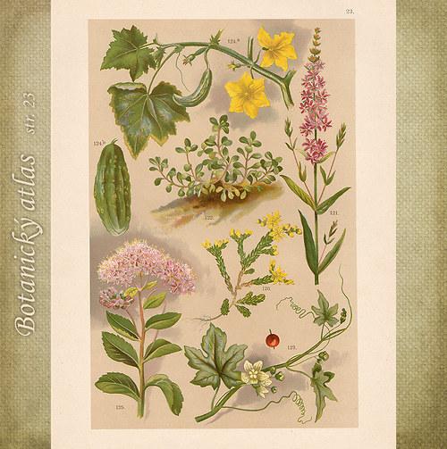 Rostliny - tab. 23 (r. 1898)