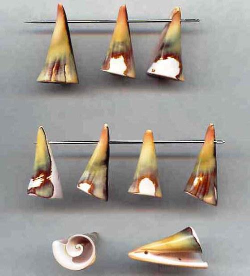 spirálové mušle