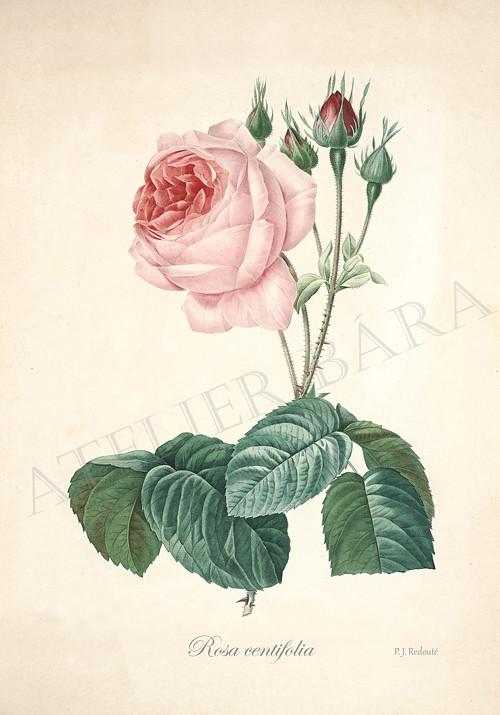 Růže - z herbáře