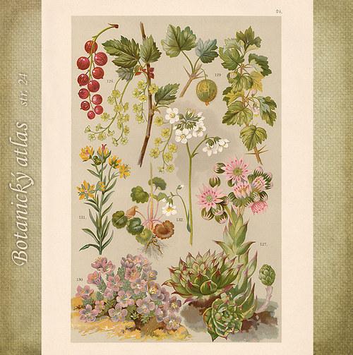 Rostliny - tab. 24 (r. 1898)