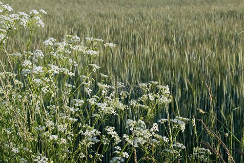 Žitné pole