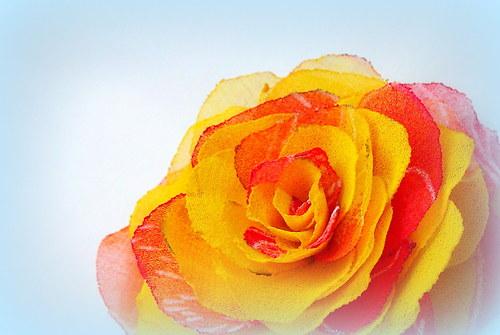 Žlutočervená růže.