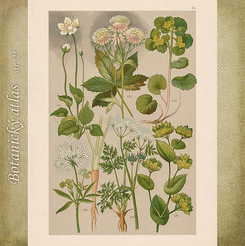 Rostliny - tab. 25 (r. 1898)