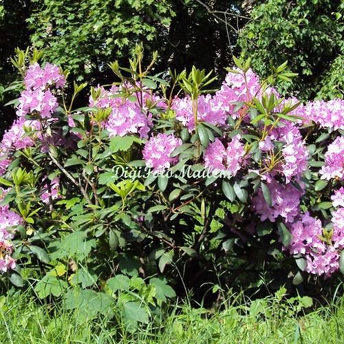 Rododendron I