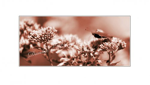 motýlice..