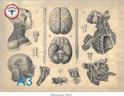 Anatomie nervových cest hlavy