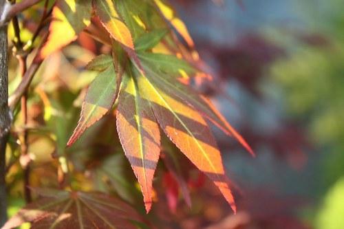Javorové plamínky