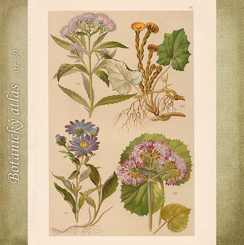 Rostliny - tab. 30 (r. 1898)