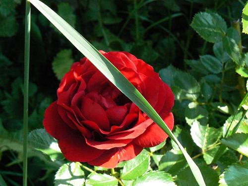 Růže s listem