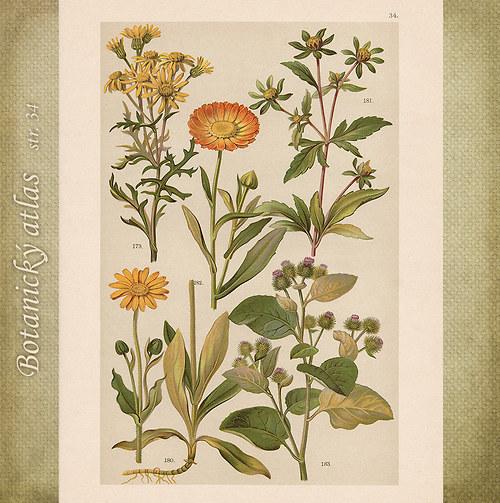 Rostliny - tab. 34 (r. 1898)