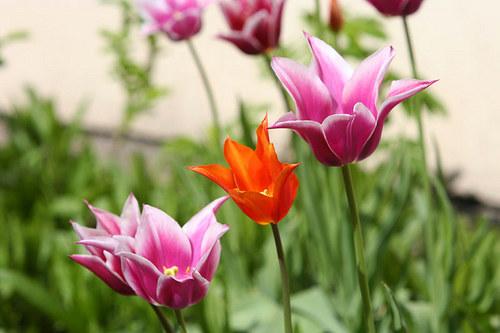"Fotografie \""Tulipány\"""