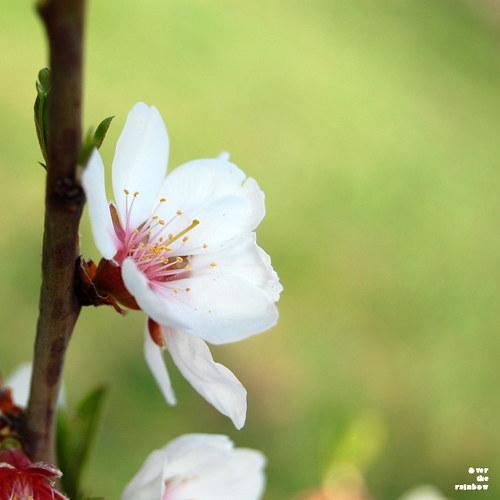 Třešňový květ - autorská fotografie
