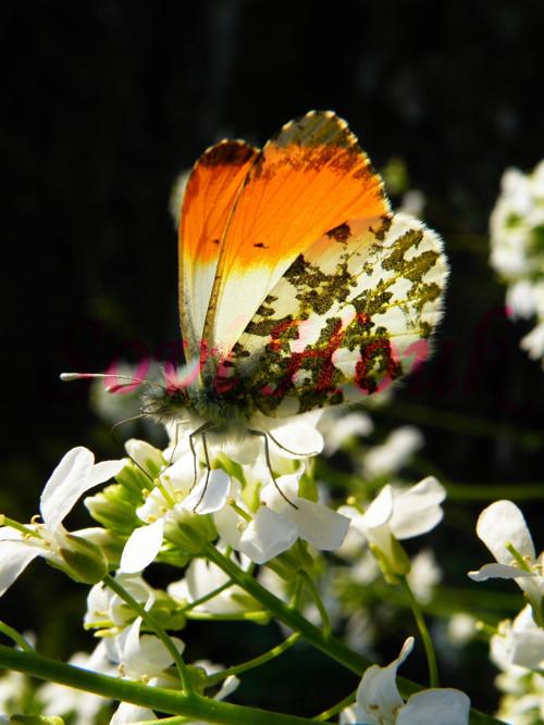 Kouzlo barev - motýl Emanuel