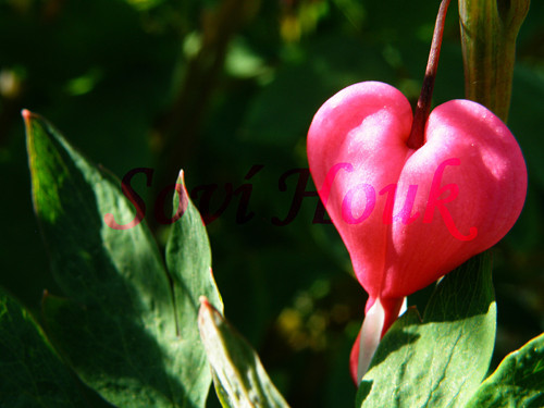Láska v zahradě - srdíčkový keř