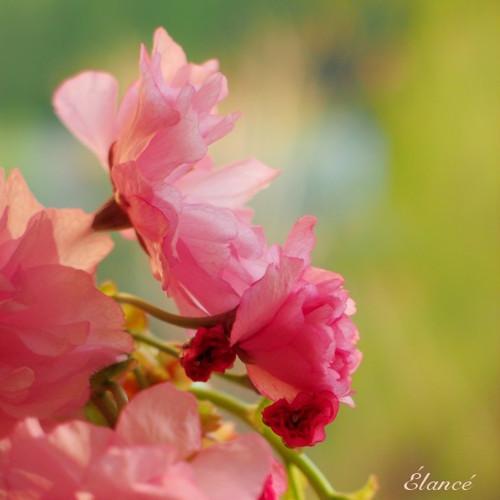 Sakura I