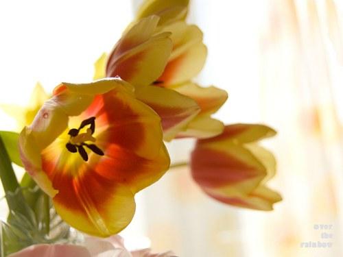 Tulipány - autorská fotografie, Giclee
