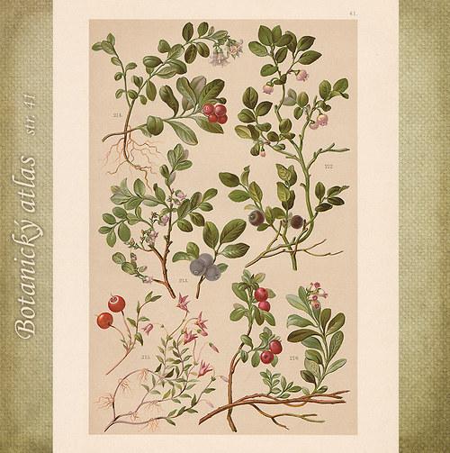 Rostliny - tab. 41 (r. 1898)