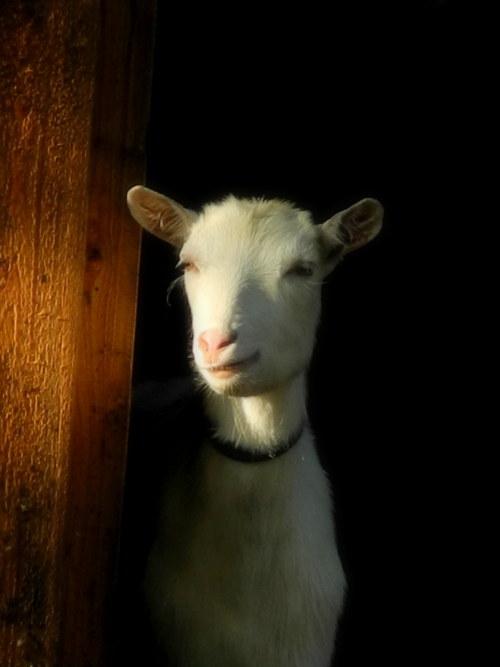 Kozí příběh ... Rembrantova koza :)