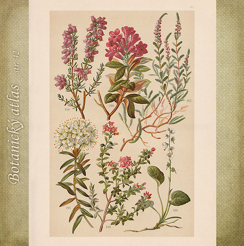 Rostliny - tab. 42 (r. 1898)