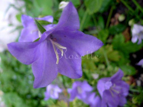 Zvoní modré zvony ...  - autorská fotografie