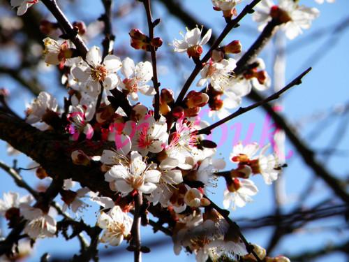 Jaro plné květů - rozkvetlá meruňka