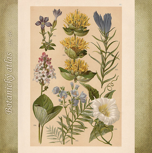 Rostliny - tab. 46 (r. 1898)