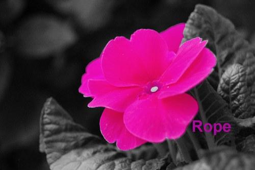 Růžový PETR KLÍČ v šedém digifotografie mailem