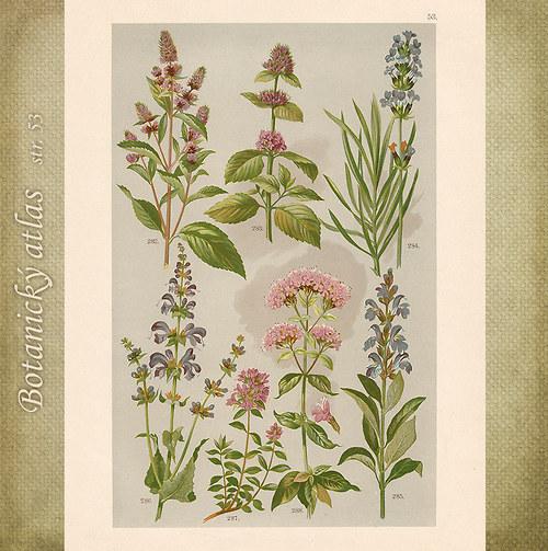 Rostliny - tab. 53 (r. 1898)