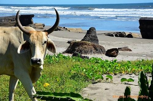 Pastva na pobřeží, El Salvador