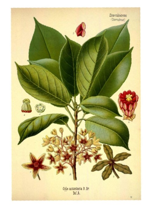 Herbář, rododendron