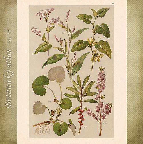 Rostliny - tab. 58 (r. 1898)